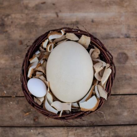 Vejce - Pštros dvouprstý